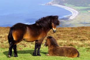 Mother and foal above Porlock Bay